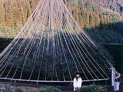 Yoshimura Shinbei and his Big Tea Tree